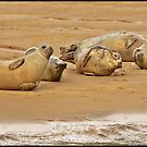 Common Seals (phoca vitulina) by ten2eight