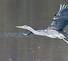 Heron Fly By by TheNug