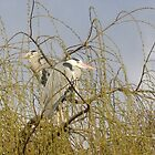 Nesting Herons by fitandwell65