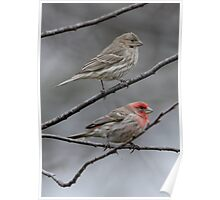 Mr And Mrs House Finch Poster