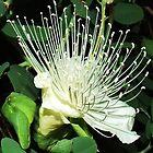 Wild flower by Liza Barlow