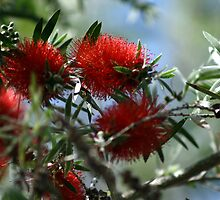 Bottle Brush Blooms by Virginia N. Fred