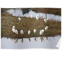 Egrets Bolinas Lagoon Poster