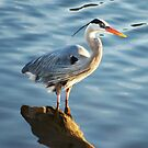 Great Blue Heron by Meeli Sonn
