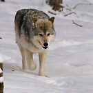 Montana - Female Gray Wolf by Sue Ratcliffe