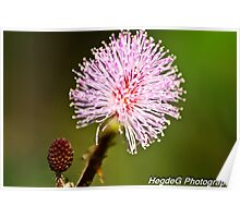 Touch me not plant flower(Mimosa pudica) Poster
