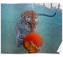 Golden Tabby Bengal Tiger Diving for Pumpkin Poster