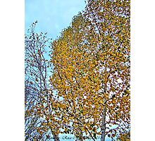 Birch Bounty Photographic Print
