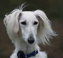 Stunning Saluki by Sally J Hunter