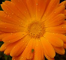 Marigold - Amber Attraction by ArundelArt