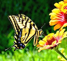 Yellow Butterfly on a flower by Amy McDaniel