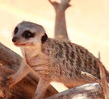 Meercat - Adelaide Zoo by Anthony Radogna