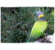 Rainbow Lorikeet - Adelaide Zoo Poster