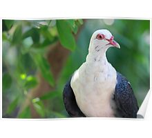 Pigeon - Adelaide Zoo Poster