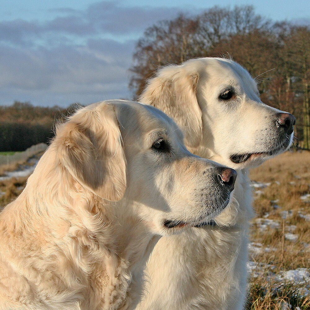 Golden Retrievers Gina and Ditte by Trine