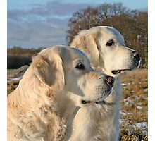 Golden Retrievers Gina and Ditte Photographic Print