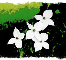 Dogwood in Bloom by Kenneth Hoffman