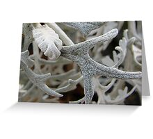 Dusty Miller Upclose Greeting Card