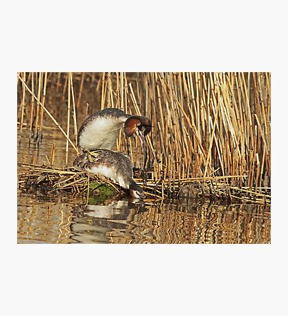 Mating Grebes Photographic Print