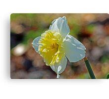 Spring Cheer Daffodil photo Canvas Print