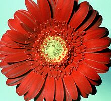 Red Gerbera - UK562/19 - www.lizgarnett.com by Liz Garnett