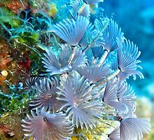 Social Feather Duster Anemone on Coral Reef by Amy McDaniel