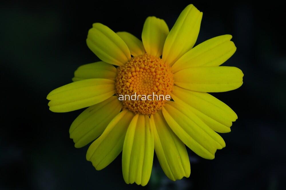 Chrysanthemum coronarium by andrachne