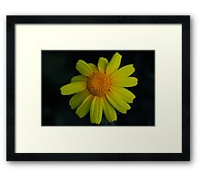 Chrysanthemum coronarium Framed Print