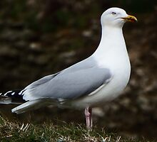 Serious Seagull by DEB VINCENT