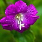 Plant, Wild flower, Great Willowherb, Epilobium hirsutum, Flower by Hugh McKean