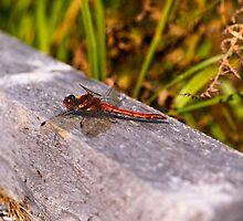 Dragonfly, Common Darter, Sympetrum striolatum, male by Hugh McKean
