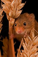 Field Mouse Close Up by JMChown