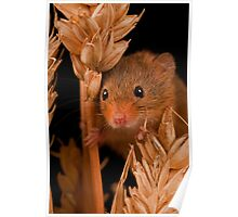 Field Mouse Close Up Poster