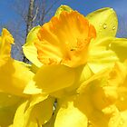 Delight Of The Daffodils by NatureGreeting Cards ©ccwri