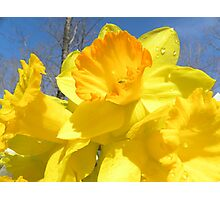 Delight Of The Daffodils Photographic Print