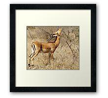 Impala going for the goodies - Moremi Botswana Framed Print