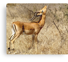 Impala going for the goodies - Moremi Botswana Canvas Print