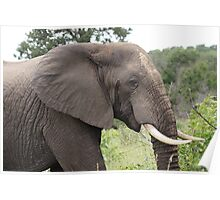 Bull Elephant - Moremi Botswana Poster