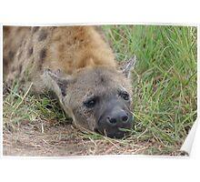 Hyena Resting - Kruger National Park Poster