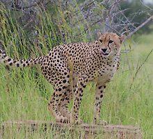 Cheetah marking territory - Moremi Botswana by eyedocbrian
