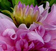 Dahlia - Royal Beauty by ArundelArt