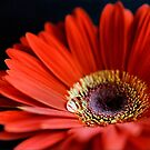 red gerbera by Michelle McMahon