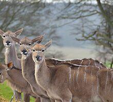 Deer deer deer deer by Stephen Frost