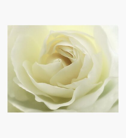 white rose.. Photographic Print