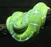 Green tree python by Christina Hulette