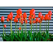 Red tulips and metal ! Photographic Print
