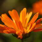 Orange Petals by pange