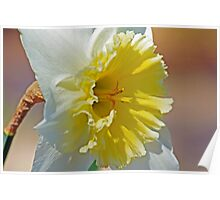 Shining Face daffodil photo Poster