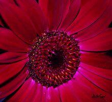Gerbera Daisy in Red by Mattie Bryant