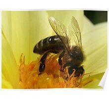 Bee on yellow Dahlia  Poster